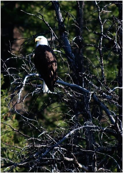Eagle by LisaRose
