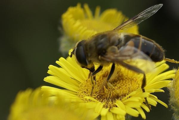 Bee by CTee
