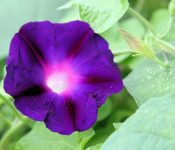 Purple trumpets by chuckspics