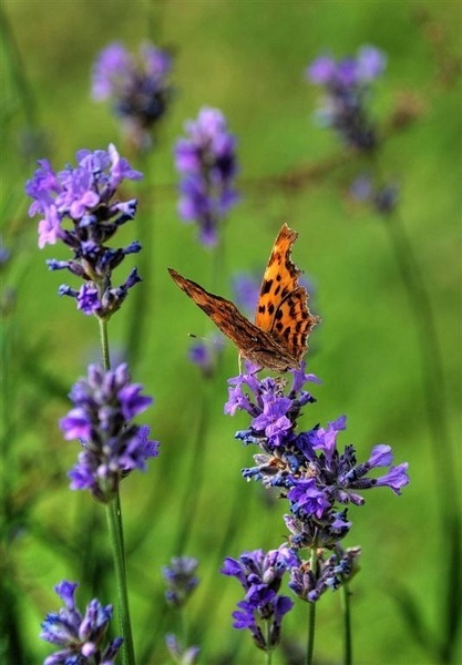 Sweet Lavender by dnwilliams