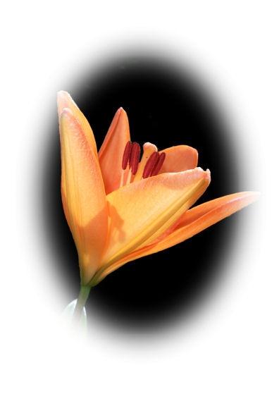 lily by jaecat