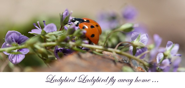 Ladybird  Ladybird fly away home by Paddy