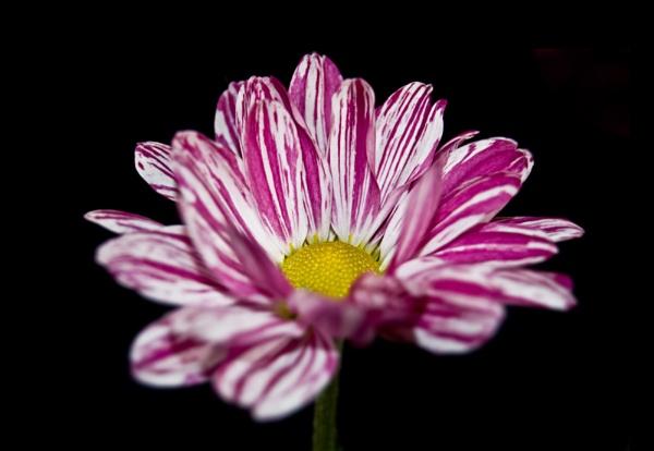 Pink Flower by Shutterbybaby