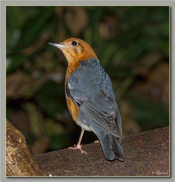 Orange Headed ground thrush by FeatherFriend