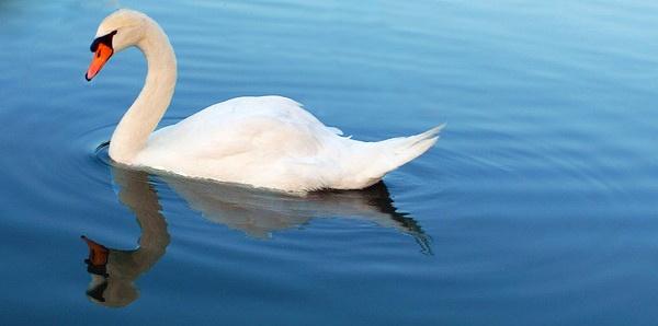 Swan Silhouette by Xxticy