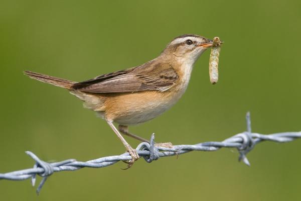 Sedge Warbler by nigelpye