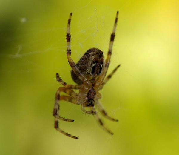 Garden Spider by UncleFester