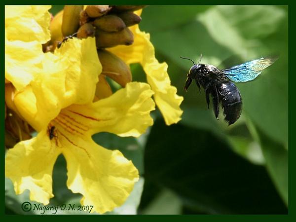 Carpenter Bee in flight by nasoteya