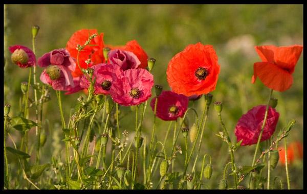 Poppies by adybazz