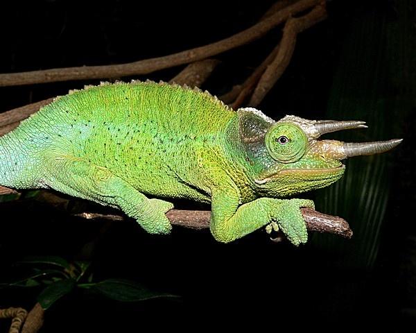 Chameleon by KangaGal