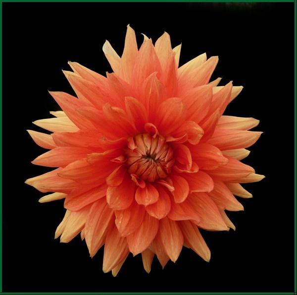 Pretty Peach Dahlia
