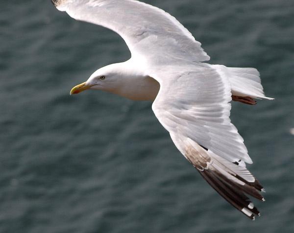 Seabird in Flight by snapper1609