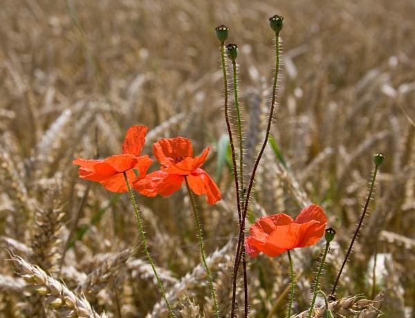 Poppies in wheat by Steve Cribbin