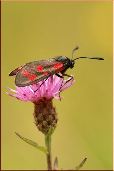Burnet Moth by daffydill56