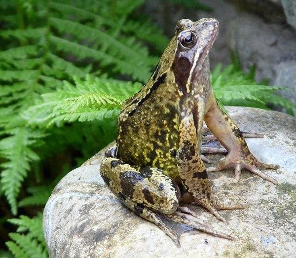 Frog by BarbaraR