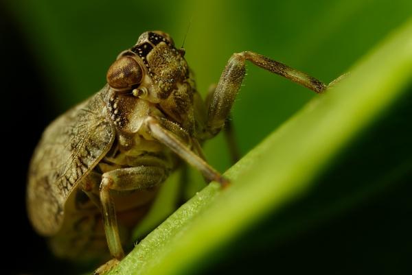 Leaf Hopper by alliec