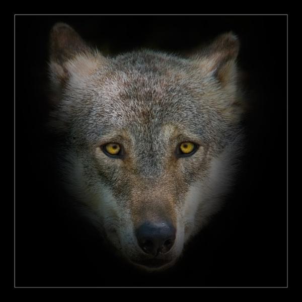 Wolf by JeremyCC