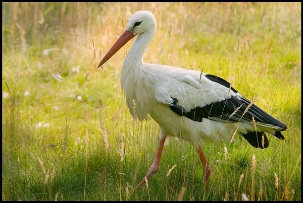 Stork by JeremyCC