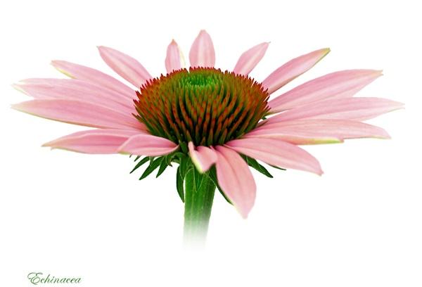 Echinacea by KKmoments