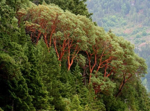 grove of arbutus trees by Bear46404