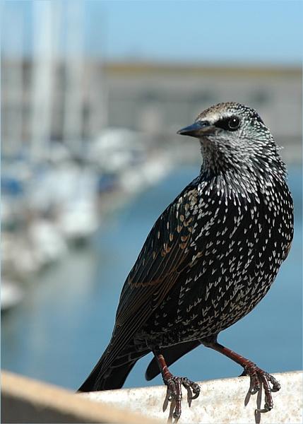 American Starling by geniehawk