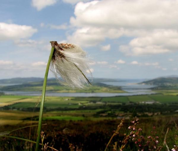 Bog Cotton I by Declanworld