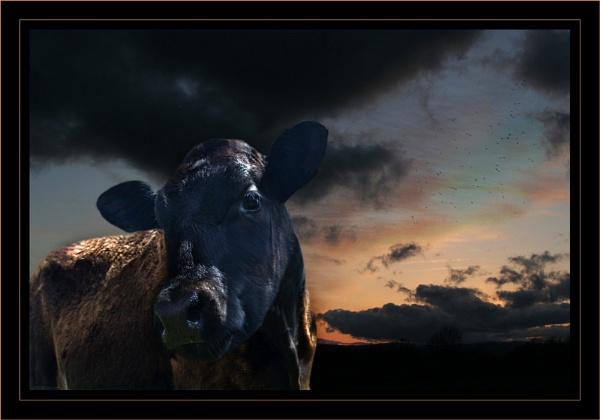 Evening Calf II by GrahamBaines