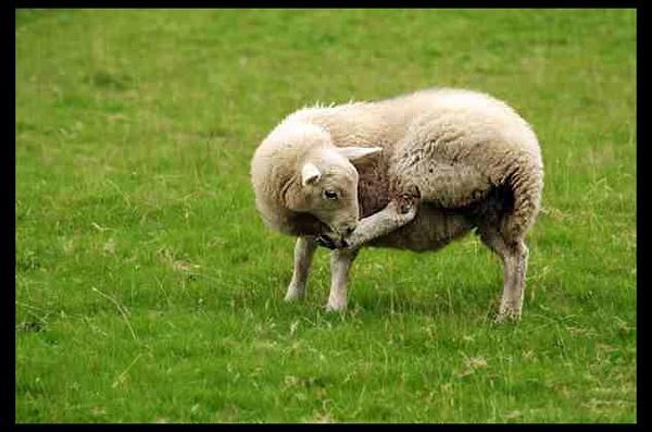 snowdonia sheep by ashminder