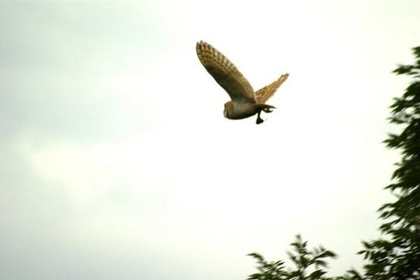 Barn owl with prey by wipka84