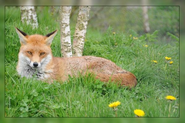 Foxy by StevesPics