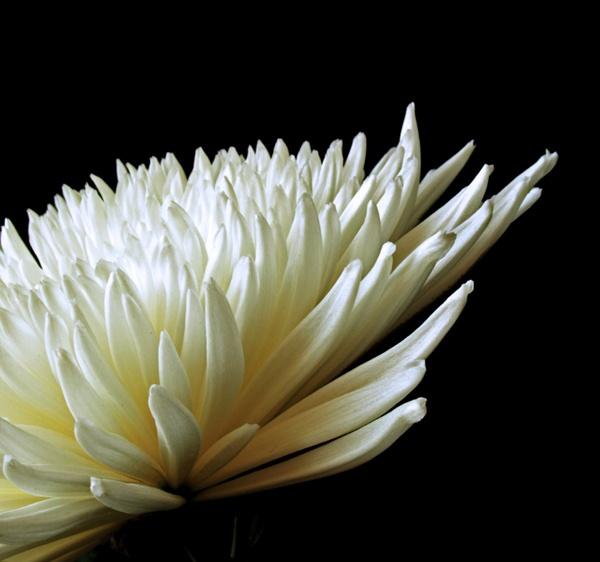 Chrysanthemum by Ade1771