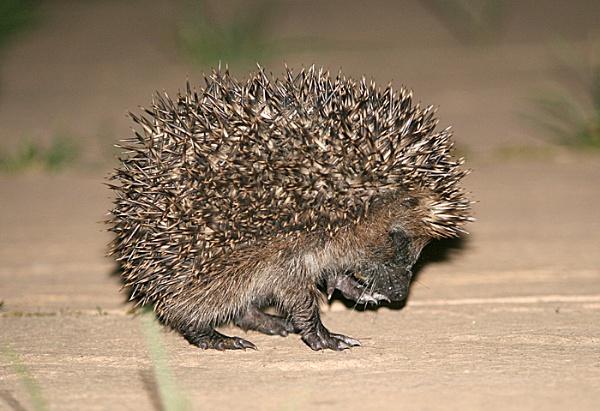 Baby Hedgehog by Jimmy31