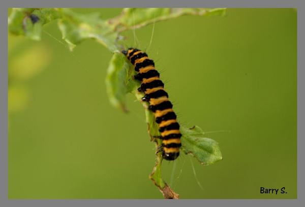 Caterpillar by smitbar