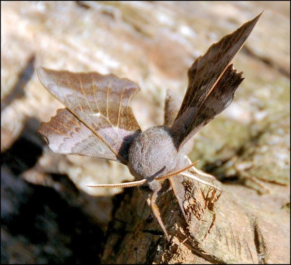Elephant Hawk Moth by sdsx