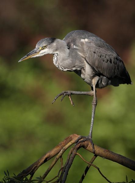 Grey Heron Perched by mikewarnes