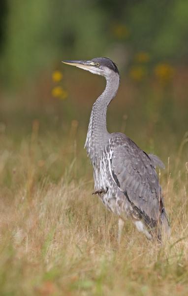 Grey Heron in Grasses by mikewarnes