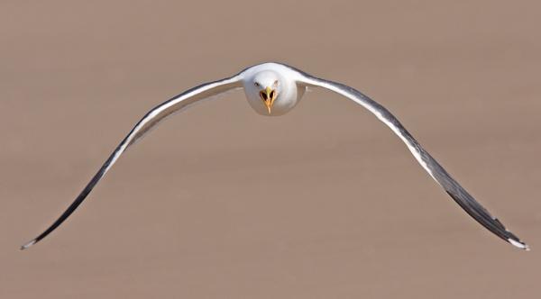 Herring Gull by mikewarnes