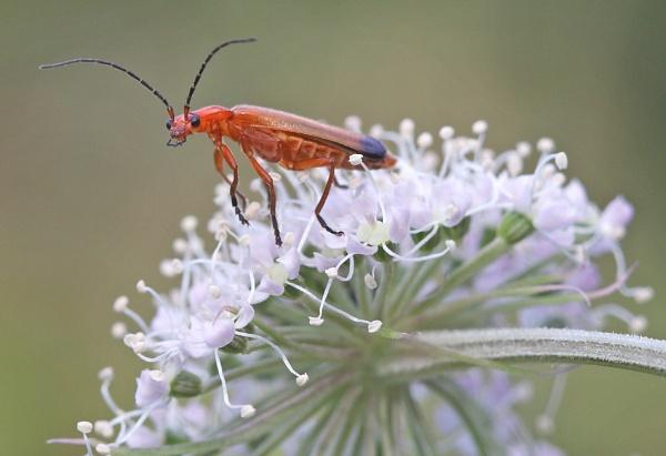 Soldier Beetle by mikewarnes