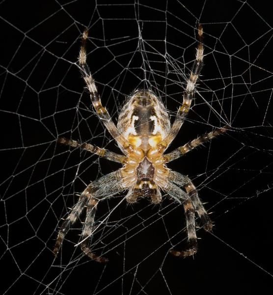 Garden spider macro. by mohikan22