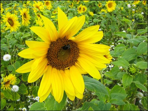 Field of Sunshine by Mavis