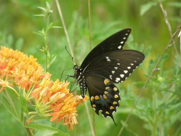 Swallowtail by PattiW