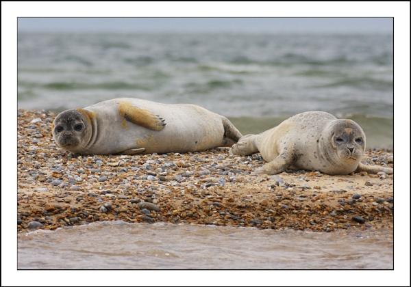 Common Seals by tomcat