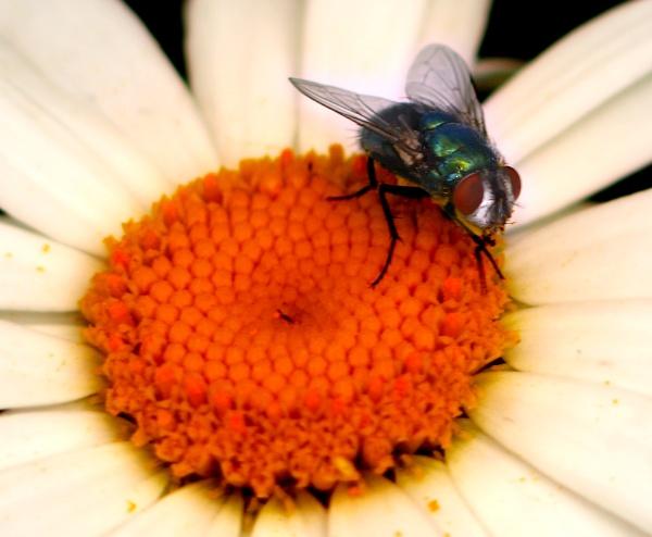 Fly On A daisy by chensuriashi