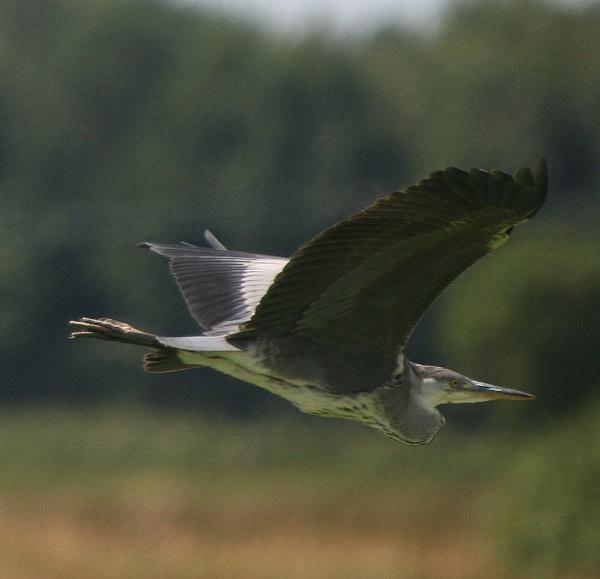 heron by kencbr