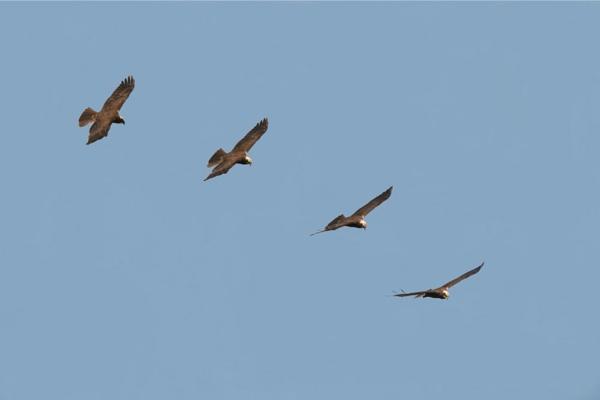 marsh harrier in flight by kencbr