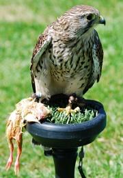 A bird for dinner