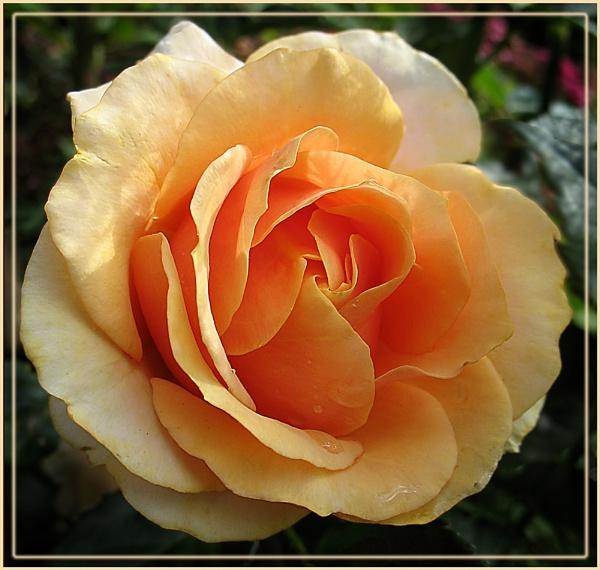 Orange Rose by Sylviwhalley