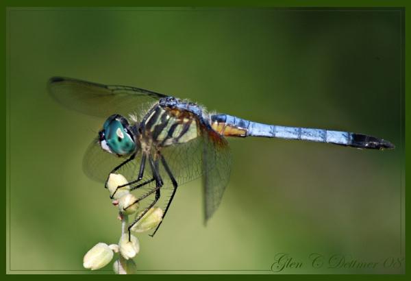 Blue Dasher by GlenD