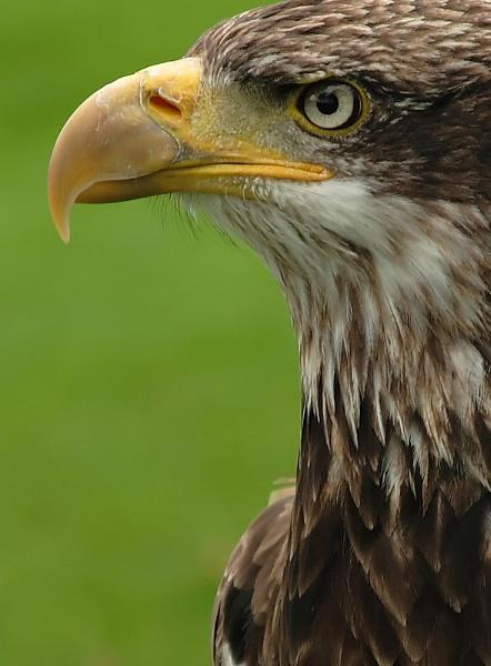 Eagle by Bradfleet12