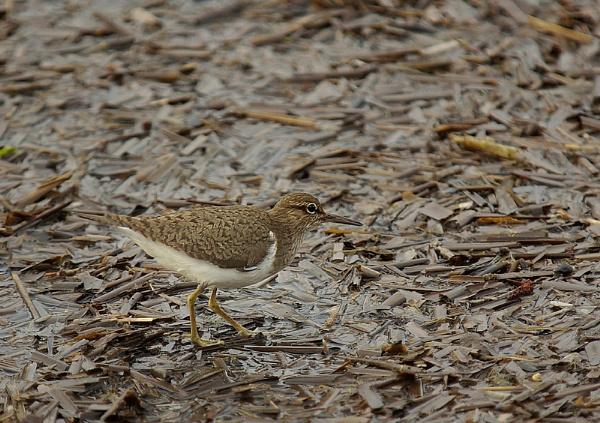 Common Sandpiper. by JWA